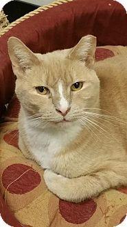 Philadelphia, PA - Domestic Shorthair. Meet Toto, a cat for adoption. http://www.adoptapet.com/pet/14718886-philadelphia-pennsylvania-cat