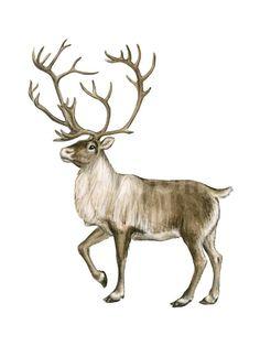 Barren Ground Caribou (Rangifer Arcticus), Mammals Poster by Encyclopaedia Britannica at Art.com