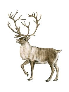 how to draw a caribou easy