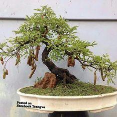 #Bonsaimacetas #bonsaitrees