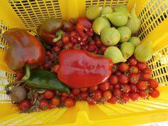 Recolecta del día: tomates cherru, pimientos, fresas y fresones, fresas rubí, higos...