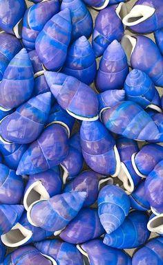 "Sea shell, sea shell by the sea shore.er no it's - ""She sells sea shells by the sea shore. The shells she sells are sea shells I'm sure"" Love Blue, Periwinkle Blue, Cerulean, Color Blue, Cobalt Blue, Purple Hues, Ocean Life, Sea Creatures, Belle Photo"