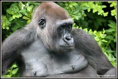 Gorilla doe een slaapje