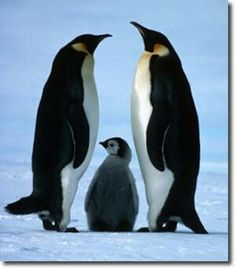 Penguin family