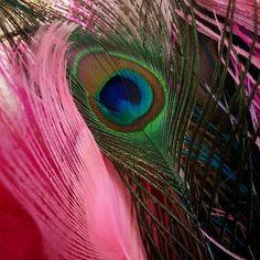 Free stock photo: Peacock, Feather, Nature, Bird - Free Image on . Pink Peacock, Peacock Bird, Peacock Feathers, Free Pictures, Free Images, Bird Free, Free Stock Photos, Wedding Centerpieces, Creative Art