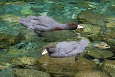 Blue duck or Whio (Hymenolaimus malacorhynchos) Rarotonga Cook Islands, Swans, Outdoor Activities, Ducks, New Zealand, Castle, Birds, Castles, Bird