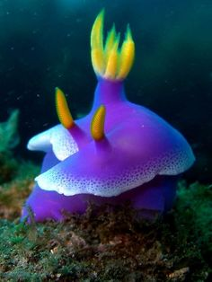 Nudibranch ( Hypselodoris apolegma )(Risbecia apolegma) by Eva