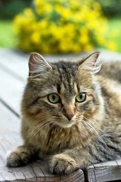 My kitty, Eowyn, look just like this one. But cuter. <3 And yes....if you couldn't tell, I'm a Ringer. ;)