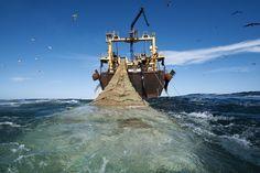 Környezeti és (sajnos) megélhetési problémaként jelentkezik a túlhalászat Guineai-öbölben és Afrika több más területén.