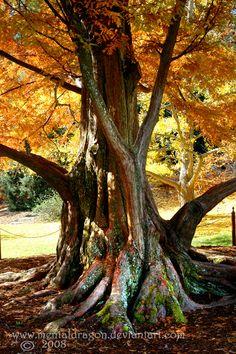 http://la-vita-a-bella.deviantart.com/art/Dawn-Redwood-103302016
