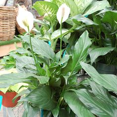 1000 images about happy house plants on pinterest for Tropical low maintenance plants