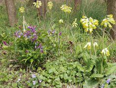 Violett und Gelb als etwas gewagte Farbkombination von Frühlings-Platterbse (http://galasearch.de/plants/11683-lathyrus-vernus) und Echter Schlüsselblume (http://galasearch.de/plants/12018-primula-veris).