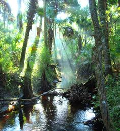 One of my favorite places on the planet: Tosohatchee Wildlife Management Area covers 30,701 acres along 19 miles of the St. Johns River in eastern Orange County. Meandering creeks, lush cabbage palm hammocks, slash pine flatwoods, cypress swamps, and freshwater marshes form an integral part of the 3600-square-mile St. Johns River watershed. Visit and see what is considered the largest stand of cypress forest still left uncut in the state of Florida.