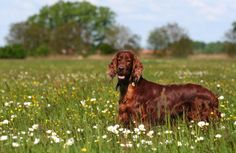 Irish Setter | Breed History, Information and Pictures - Pet360 Pet Parenting Simplified