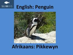 Word of the week. Little creatures. Learn Afrikaans. Slimvis.
