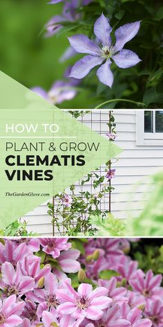 How To Plant & Grow Clematis Vines - Learn how to grow & plant clematis, pruning techniques, and even our favorite varieties! #clematis #growclematis #plantclematis #howtogrowclematis  #clematistips #clematisgrowingtips #gardening #gardenideas #diygardenideas #clematisvines #flowers #TGG