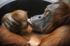 Orang-Utan mother Daisy kisses her baby Dodi at the zoo in Dresden, eastern Germany, where Daisy was born. (NORBERT MILLAUER/AFP/Getty Images)
