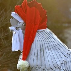Santa Claus appears in form of Dorking cockerel - News - getsurrey