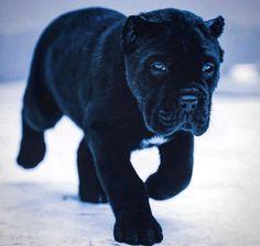 Cane Corso puppy # Dogs and puppies Cane Corso puppy Cane Corso Mastiff, Cane Corso Dog, Cane Corso Puppies, Mastiff Puppies, Cute Baby Animals, Animals And Pets, Funny Animals, Funny Dogs, Baby Dogs