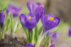 Spring Flowering Bulbs   Bulbs & More   University of Illinois Extension