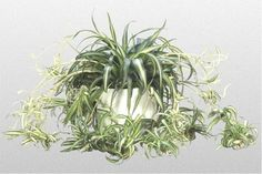 How to Care for a Spider Plant  http://www.ehow.com/how_2049704_care-spider-plant.html#