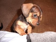 Chiweenies - miniature dachshund and chihuahua puppies