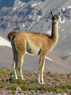 The guanaco (Lama guanicoe) is a camelid native to South America that stands between 1.0 and 1.2 m (3 ft 3 in and 3 ft 11 in) at the shoulder and weighs about 90 kg (200 lb). The colour varies very little (unlike the domestic llama), ranging from a light brown to dark cinnamon and shading to white underneath. Guanacos have grey faces and small, straight ears.