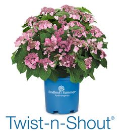 Twist-n-Shout - endless summer hydrangeas