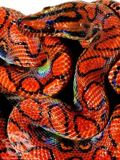 Boa Rainbow Brazilian- (Brazilian Rainbow Boa) by VenomVyxen Beautiful Creatures, Animals Beautiful, Cute Animals, Geckos, Brazilian Rainbow Boa, Rat And Boa, All About Snakes, Cool Snakes, Beautiful Snakes