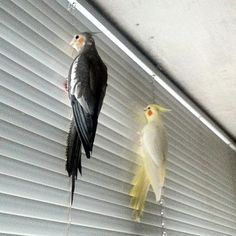 cockatiel, lutino(Kikyu) and normal(Cavi)