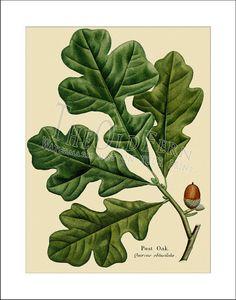 Post Oak, Vintage Leaf Print,