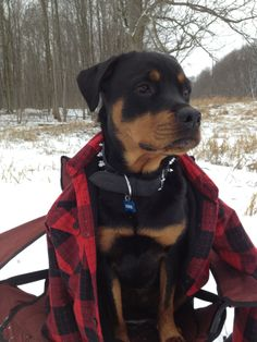 Rottweiler Luna - Out skating, tried to hold her down in the chair but she couldn't help her self but to chase us.