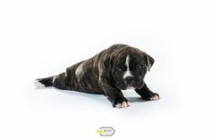 Welpen, Old englisch bulldog