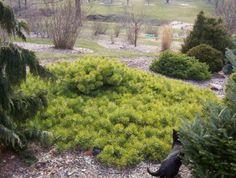pinus-sylvestris-hillside-creeper-530x400.jpg (530×400)
