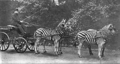 "Haven't you ever wondered why people ride horses but not zebras? ""Lionel Walter Rothschild with his famed zebra carriage, which he frequently drove through London."" 1895"