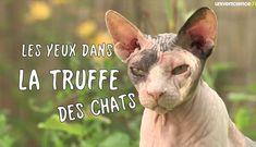 Les yeux dans la truffe des chats - Les yeux dans la truffe (chats) - universcience.tv, la WebTV scientifique hebdo