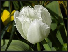 "What cruise line has their own ""signature"" tulip? ... $Pricesless visit www.CruiseBuzz.net to learn more about what's buzzing in the #travel business."