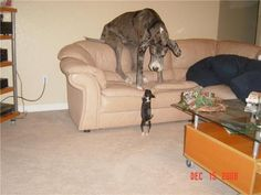 Great Danes, they really are great :)