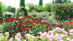 Rosa Rose, Plants, Hardy Plants, Ornamental Plants, Planting Flowers, Climbing Roses, Plant, Planting, Planets