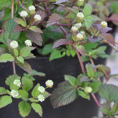 SÖTVERBENA i gruppen Krydd- och Medicinalväxter / Kryddväxt hos Impecta Fröhandel (3423)