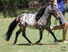 Miniature horse breeder in Arizona, mniature driving horses AZ ...