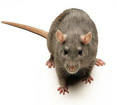 The brown rat, common rat, street rat, sewer rat, Hanover rat, Norway rat, brown Norway rat, Norwegian rat, or wharf rat (Rattus norvegicus) is one of the best known and most common rats.
