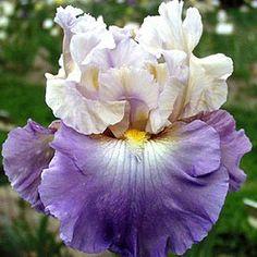 Bearded Iris Mother Earth