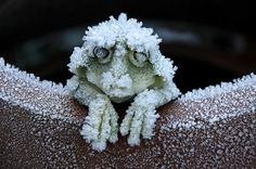 some frogs can remain alive while still in a frozen state