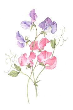 sweet pea flower drawing and sweet pea botanical illustration - sweet pea flower drawing Watercolor Design, Watercolor Cards, Watercolor Flowers, Watercolor Paintings, Tattoo Watercolor, Drawing Flowers, Watercolour, Plant Drawing, Botanical Drawings