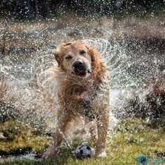 Golden retriever dog shaking off water Horses And Dogs, Animals And Pets, Tiny Dog Breeds, Dog Shaking, Golden Puppy, Dog Wash, Dogs Golden Retriever, Retriever Dog, Golden Retrievers