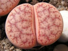LITHOPS 1696-pseudotruncatella ssp dendritica 'pulmonuncula' C71