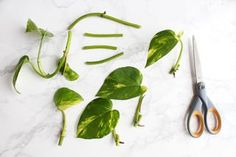 How to Propagate a Pothos Plant How to Propagate a Pothos Plant : 6 Steps (with. How to Propagate a Pothos Plant How to Propagate a Pothos Plant : 6 Steps (with Pictures) – Inst Ivy Plants, Garden Plants, Indoor Plants, Vine House Plants, Indoor Water Garden, Foliage Plants, Plante Pothos, Pathos Plant, Pothos In Water