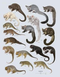 Family Pseudocheiridae (Ring-tailed Possums and Greater Gliders) Author: Toni Llobet