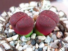 (19) Lithops Conophytum